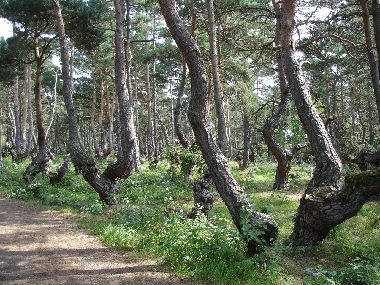 Les pins boulanges